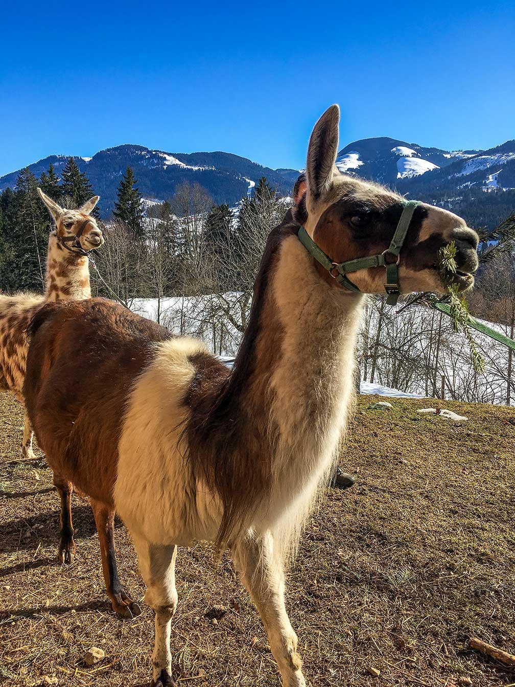 munichmountaingirls-wilder-kaiser-Lama-Outdoor